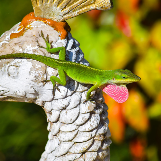 """Colorful Anole Lizard"" stock image"