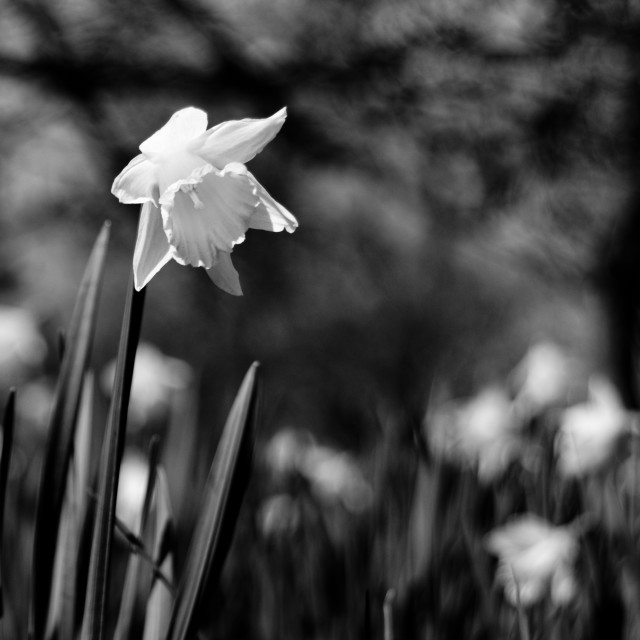 """Daffodil in black and white"" stock image"