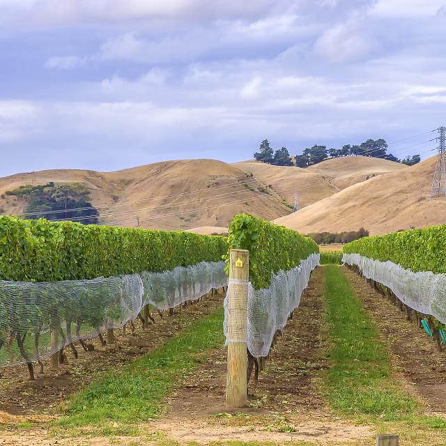 """Vineyard in Marlborough New Zealand"" stock image"