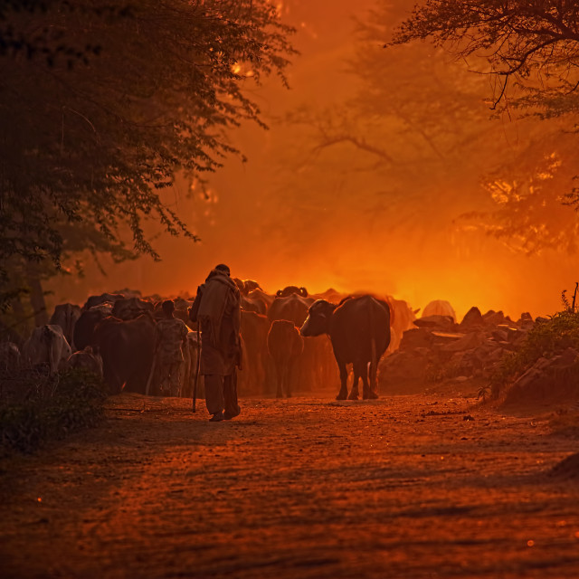 """Cows Herd at sunset"" stock image"