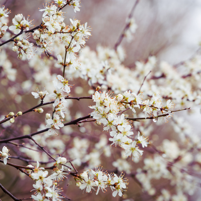 """Blackthorn Flowers"" stock image"