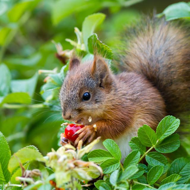 """Eurasian red squirrel"" stock image"