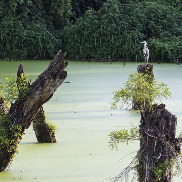 """Swamp"" stock image"