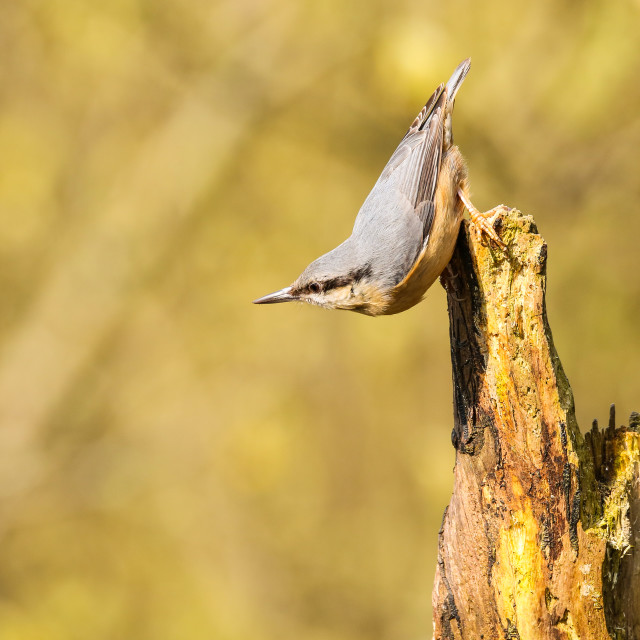 """Acrobatic Nuthatch"" stock image"