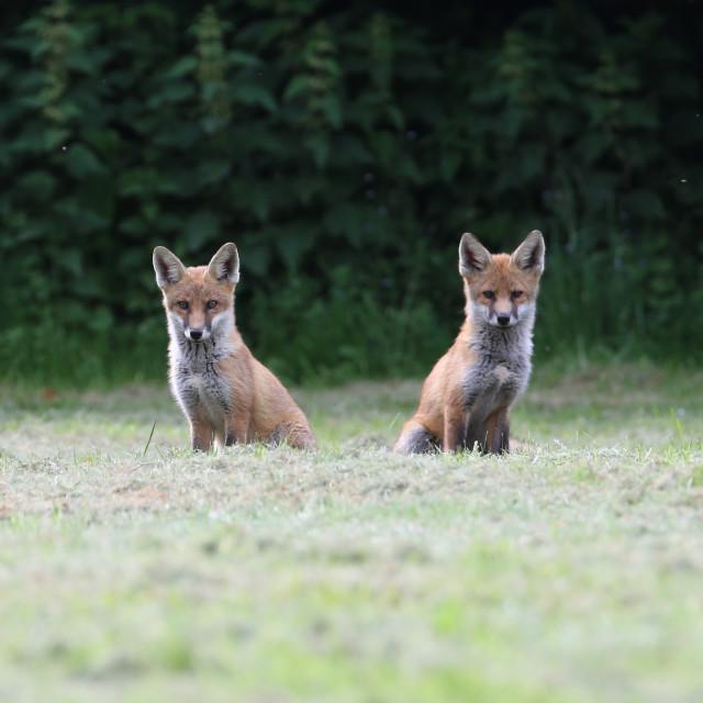 """Fox Cub Siblings"" stock image"