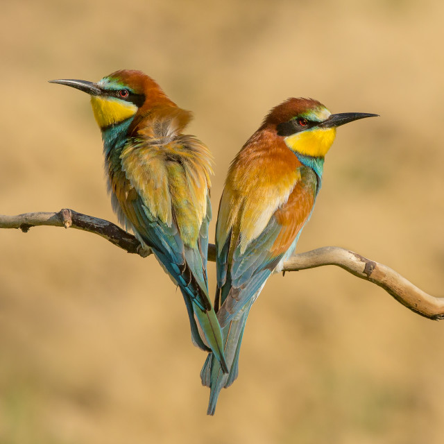 """Pair of European Bee Eaters Sitting on a Branch"" stock image"