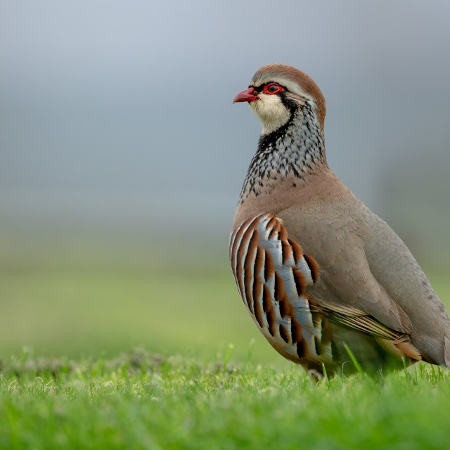 """Red-legged partridge on the ground"" stock image"