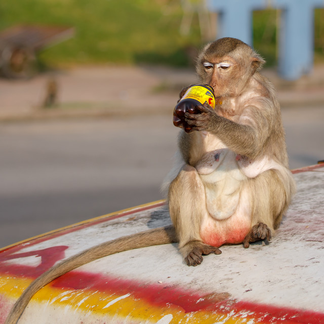 """Long-tailed Macaque sits on car bonnet drinking from plastic bottle"" stock image"