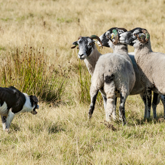 """The World Famous Longshaw Sheep Dog Trials - The Peak District, Derbyshire, UK"" stock image"
