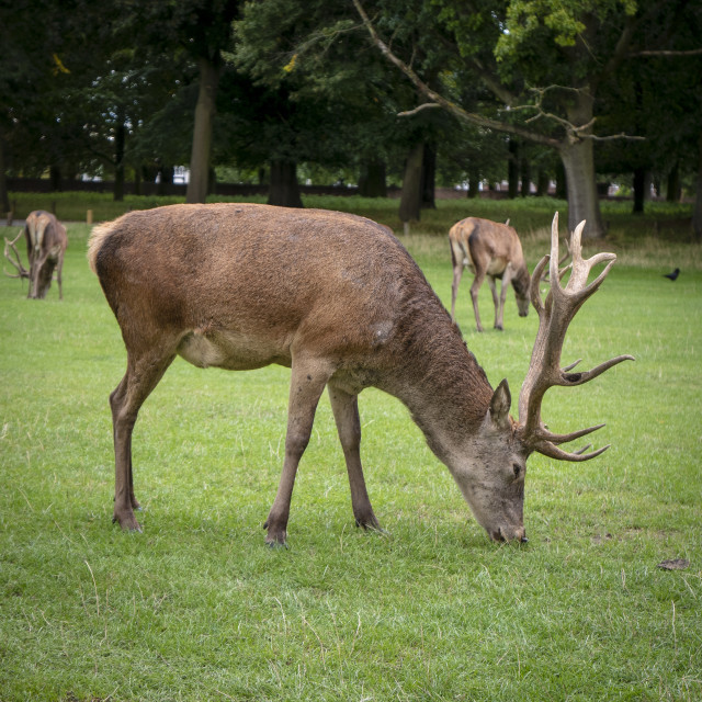 """Stags"" stock image"