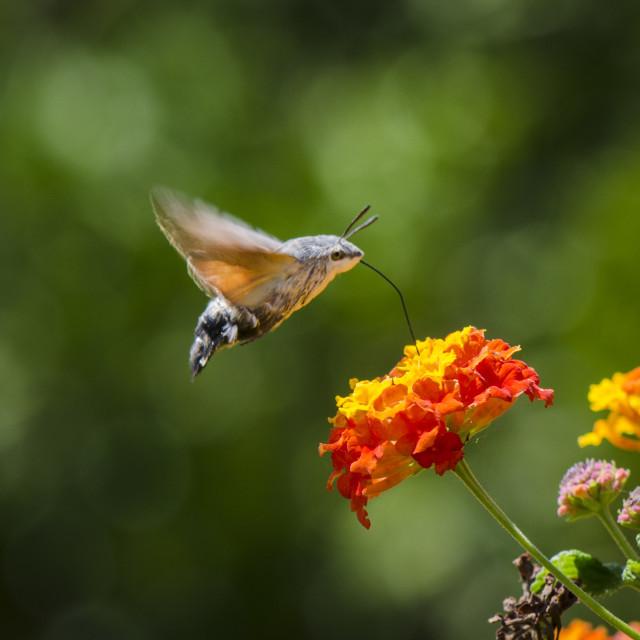 """hummingbird hawk-moth, Macroglossum stellatarum, butterfly, feeding on Lantana."" stock image"