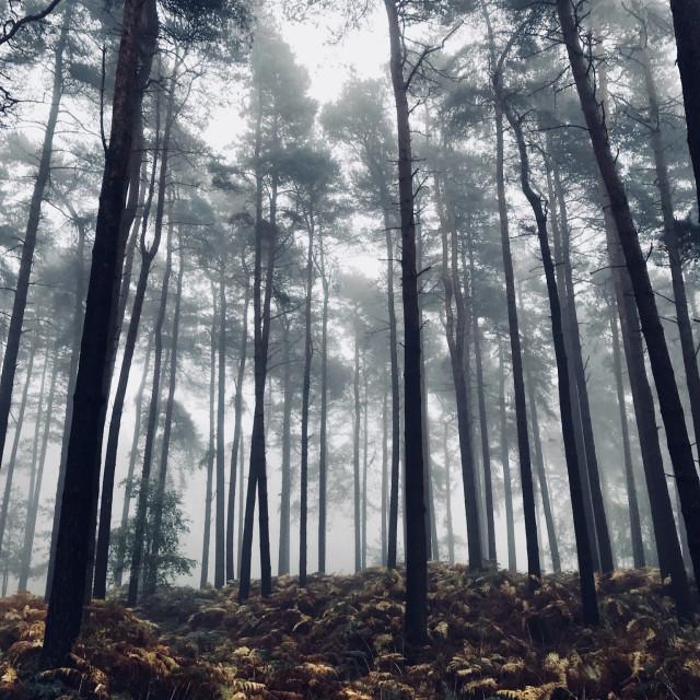 """""""Foggy wood"""" stock image"""