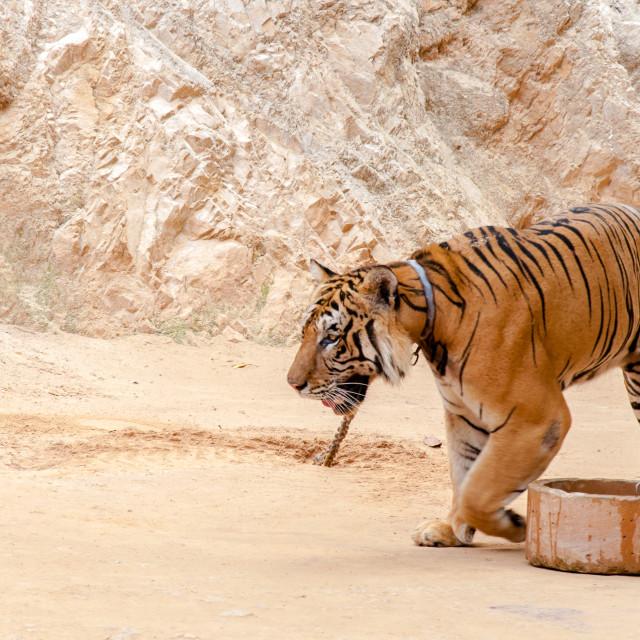 """Beautiful specimen of bengal tiger at the Tiger Temple in Kanchanaburi, Thailand"" stock image"