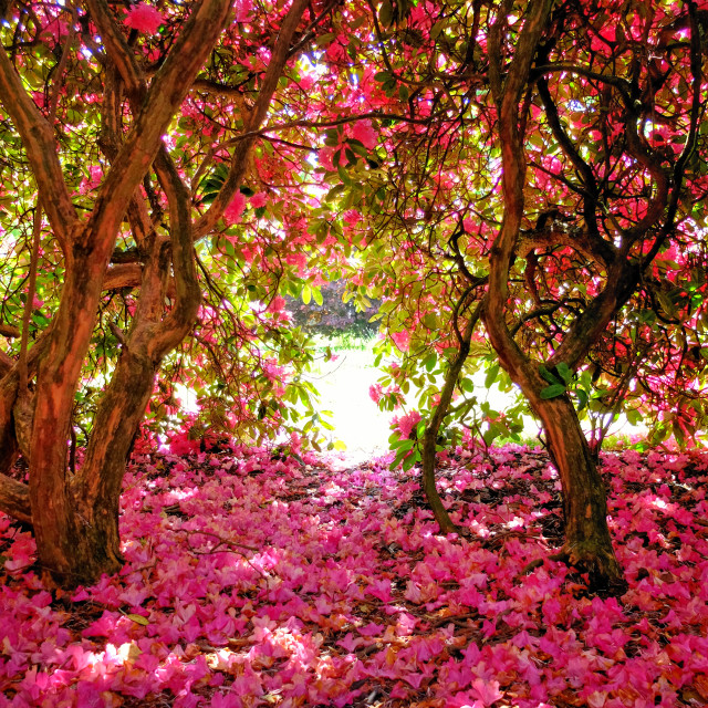 """""""Under the Rhododendron Bushes"""" stock image"""