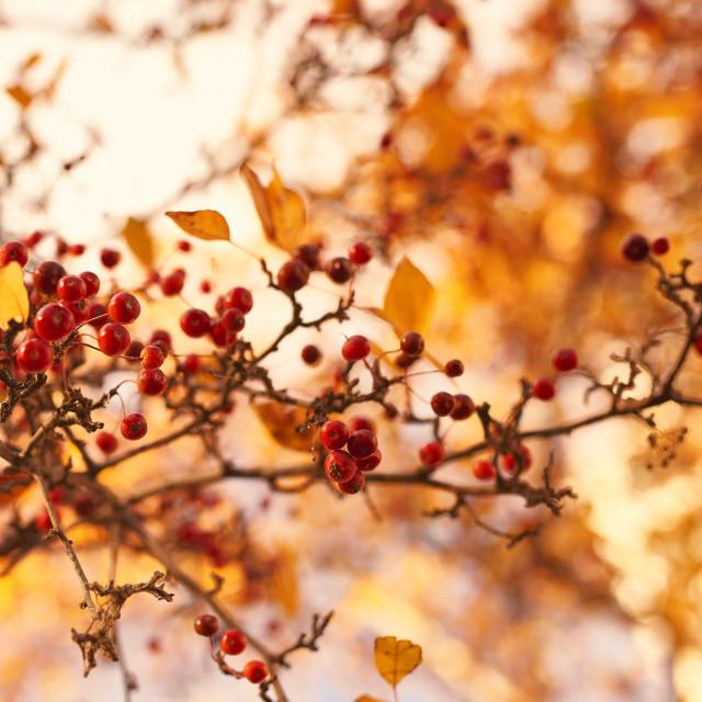 """Winterberry fall landscape"" stock image"