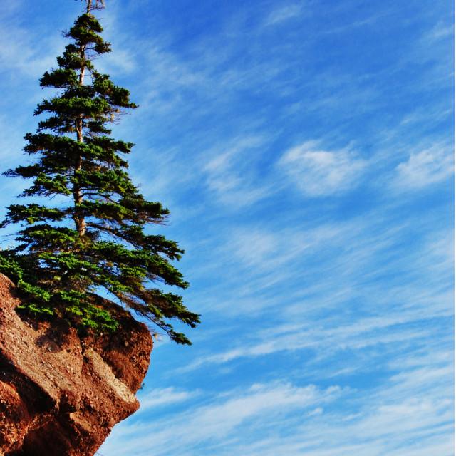 """Lone spruce tree"" stock image"