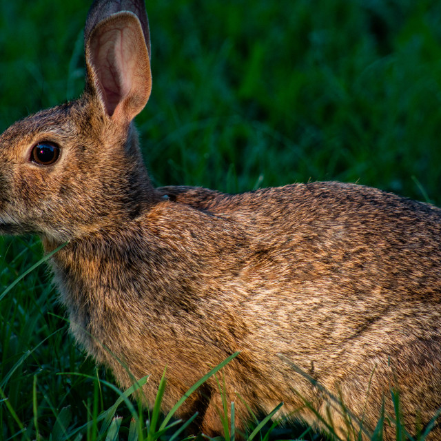 """Eastern Cottontail Rabbit In Yard"" stock image"