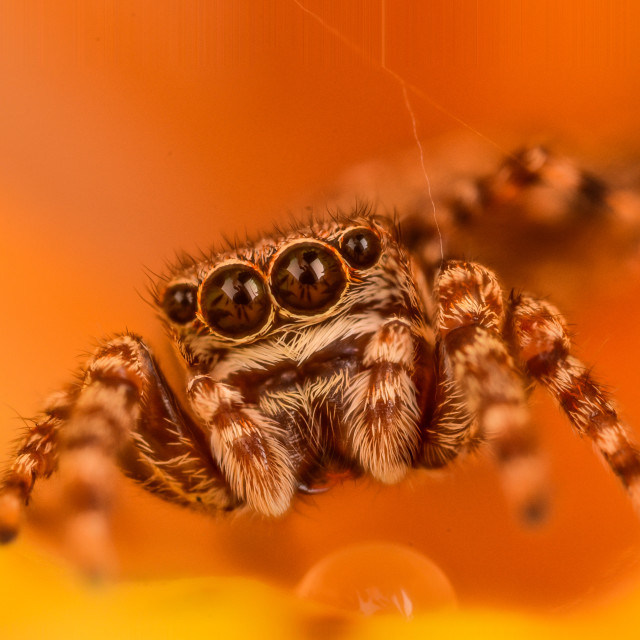 """Jumping Spider"" stock image"