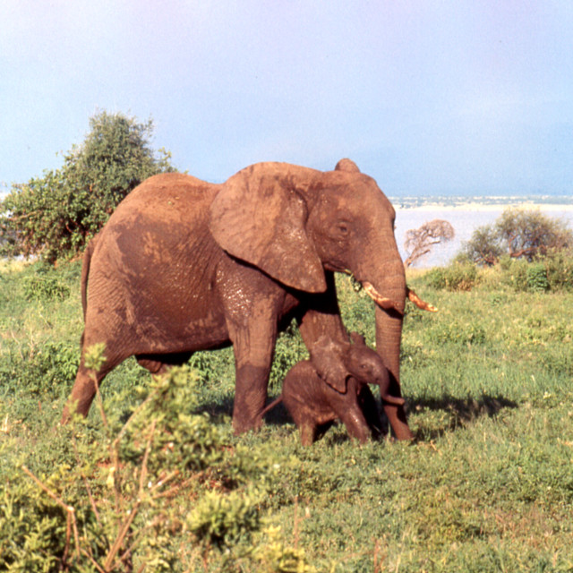 """""""Elephant mother and calf"""" stock image"""