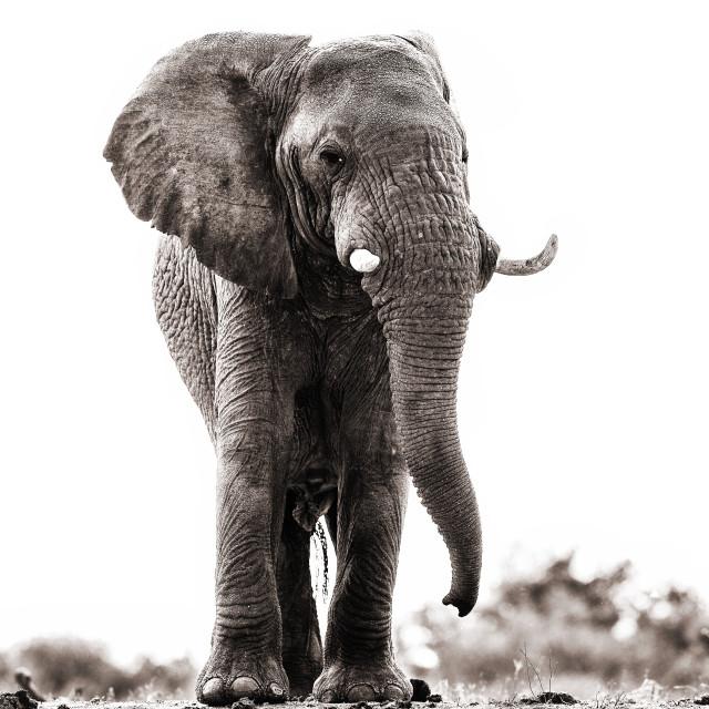 """""""Majestic elephant bull"""" stock image"""