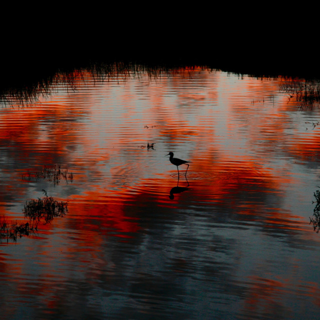 """""""Pied oystercatcher at dusk"""" stock image"""