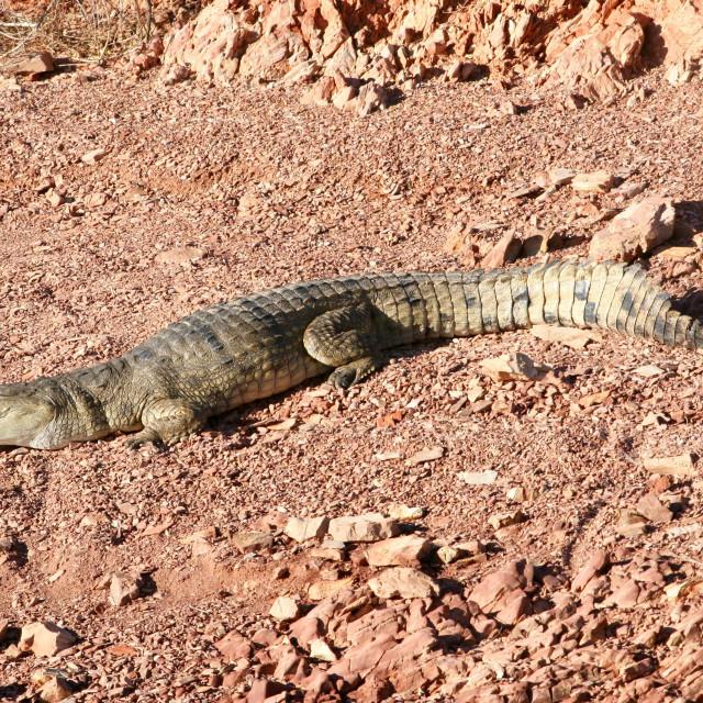"""""""Australian freshwater crocodile"""" stock image"""