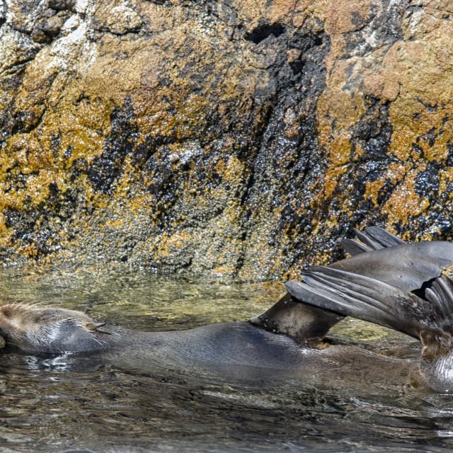 """Fur seal in water"" stock image"