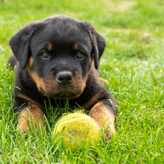 """Puppy and tennis ball"" stock image"