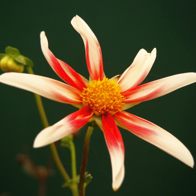 """""""Orchid Dahlia"""" stock image"""