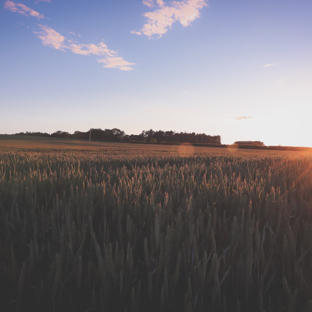 """Sunsetting over Crops"" stock image"
