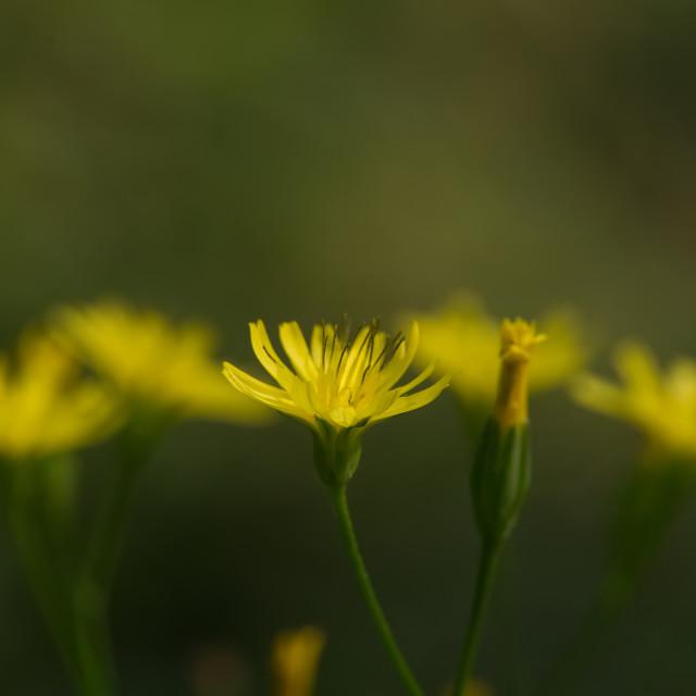 """Dandelions in flower"" stock image"