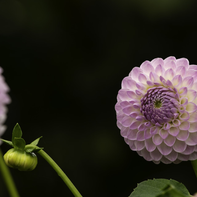"""Pale Purple Ball Dahlias."" stock image"