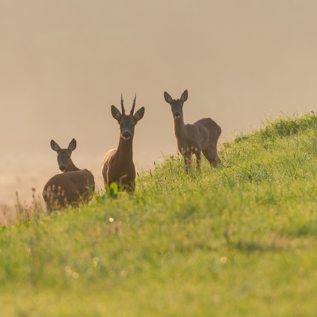 """Roe Deer on the banks of the Rover Witham"" stock image"