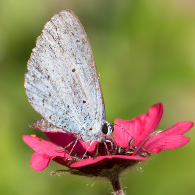 """4B9A4722 Holly Blue Male FNGY 180802"" stock image"