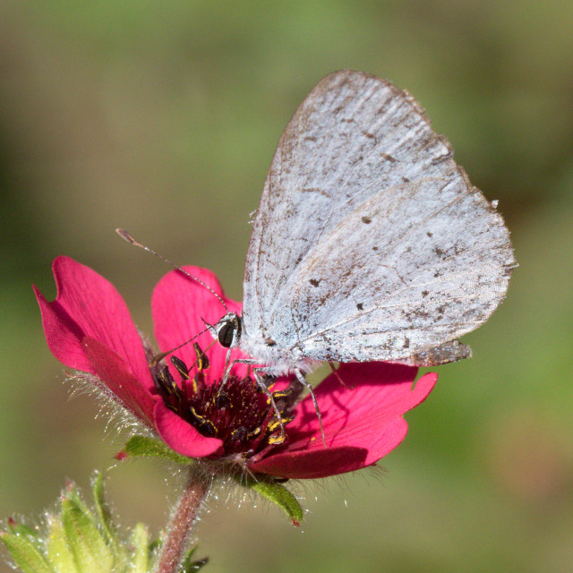 """4B9A4709 Holly Blue Male 180802"" stock image"