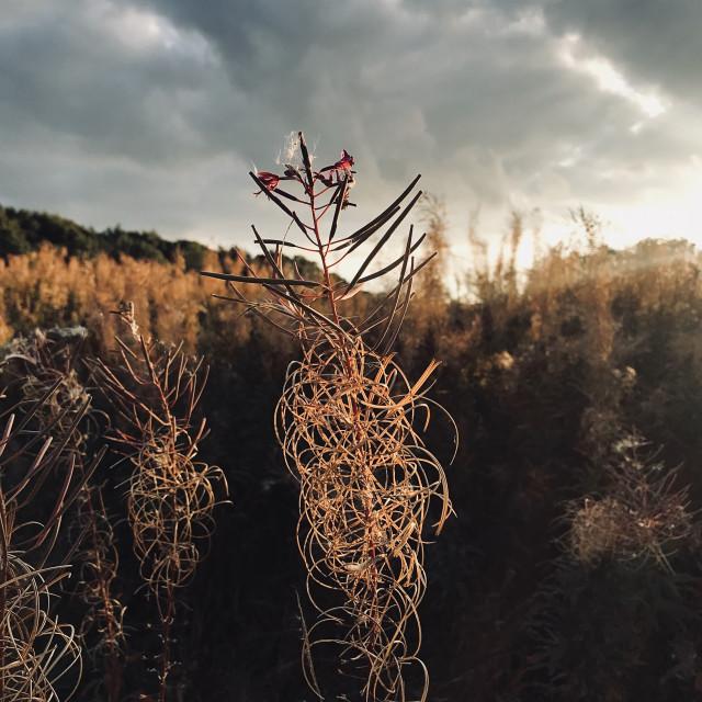"""Rosebay Willowherb seedhead"" stock image"
