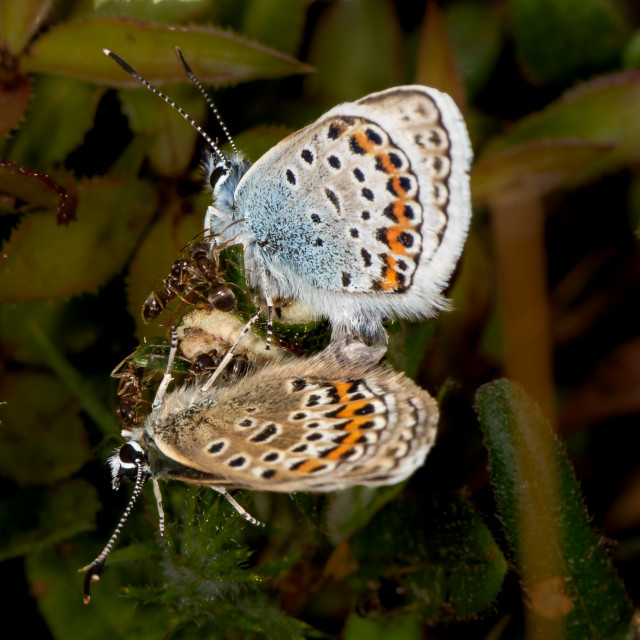 """Ants on Mating Silver Studded Blues"" stock image"