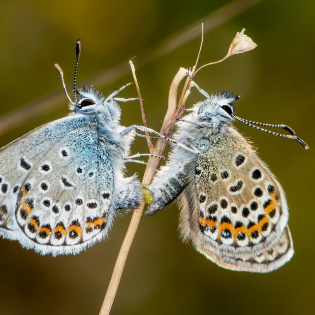"""Silver Studded Blues Mating"" stock image"