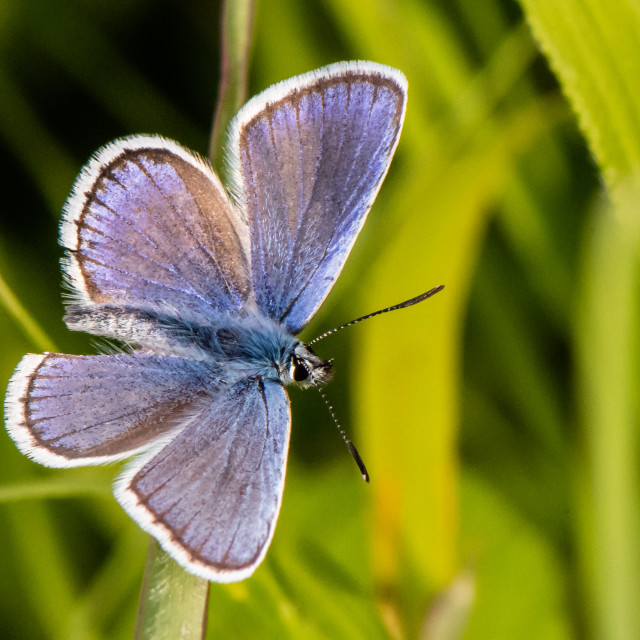 """Silver Studded Blue"" stock image"