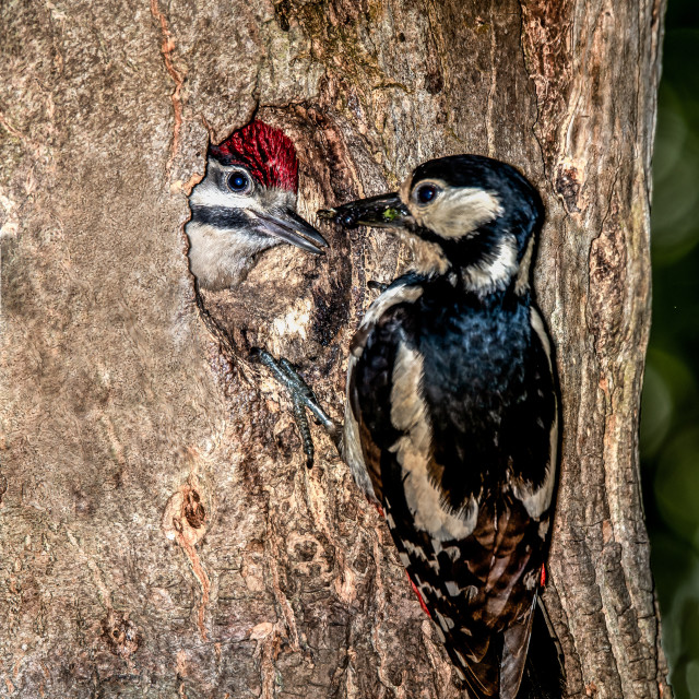 """Woodpecker with Fledgling"" stock image"