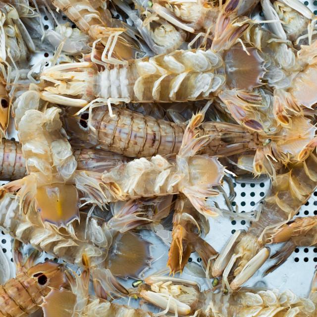 """lives mantis shrimps"" stock image"