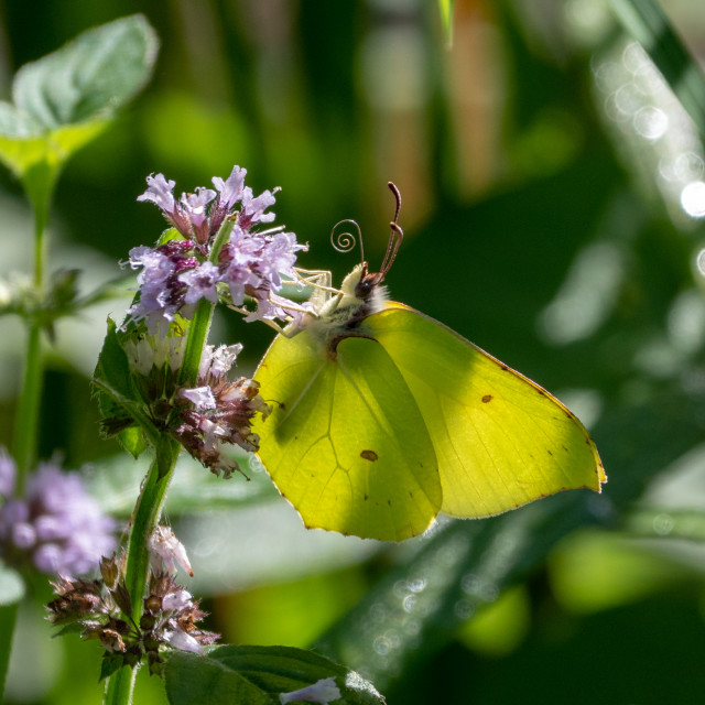 """Common brimstone butterfly"" stock image"