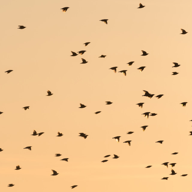 """""""Flying Starlings by a colorful sky"""" stock image"""