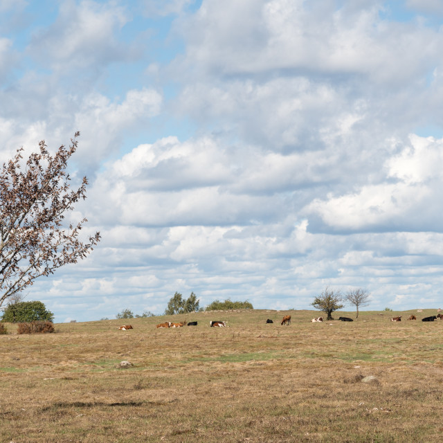 """""""Dry landscape with grazing cattle"""" stock image"""