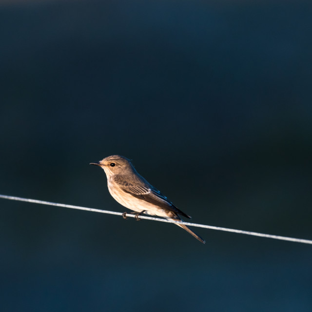 """""""Spotted Flycatcher sitting on a line"""" stock image"""
