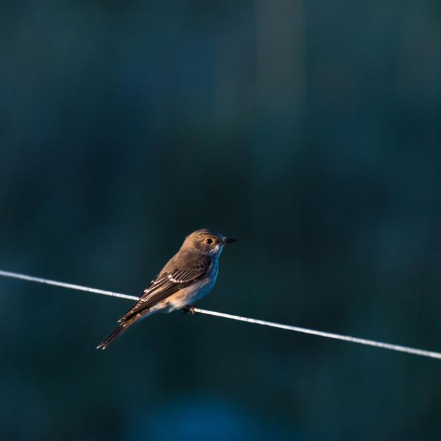 """Spotted Flycatcher on a line"" stock image"