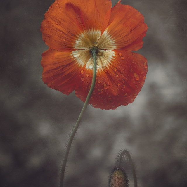 """Deep orange Poppy"" stock image"