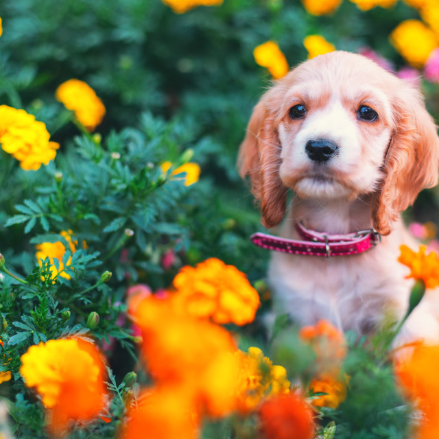 """""""Happy little cocker spaniel puppy sitting outdoors in a flower g"""" stock image"""