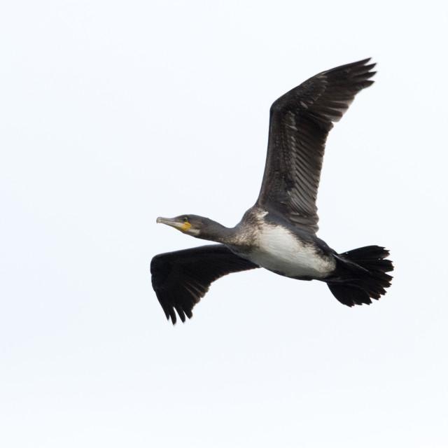 """Cormorant (Phalacrocoracidae)"" stock image"