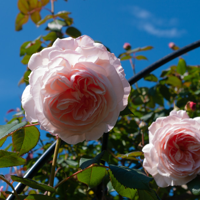 """Pink roses"" stock image"